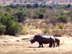 rhinoceros dans le pilanesberg